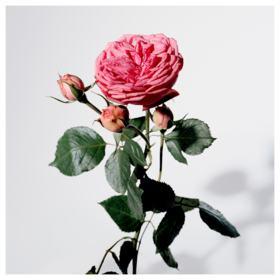 My Burberry Blush Burberry  Perfume Feminino - Eau de Parfum - 90ml